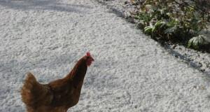 gallina en la nieve